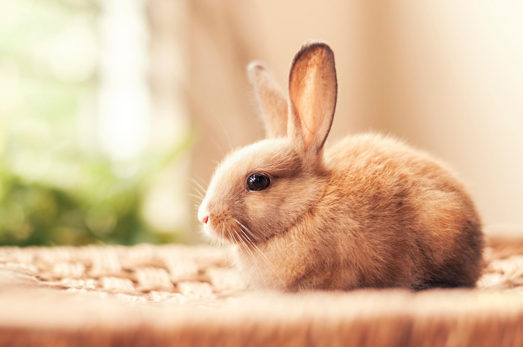 Описание кролика   Мой Тамагочи
